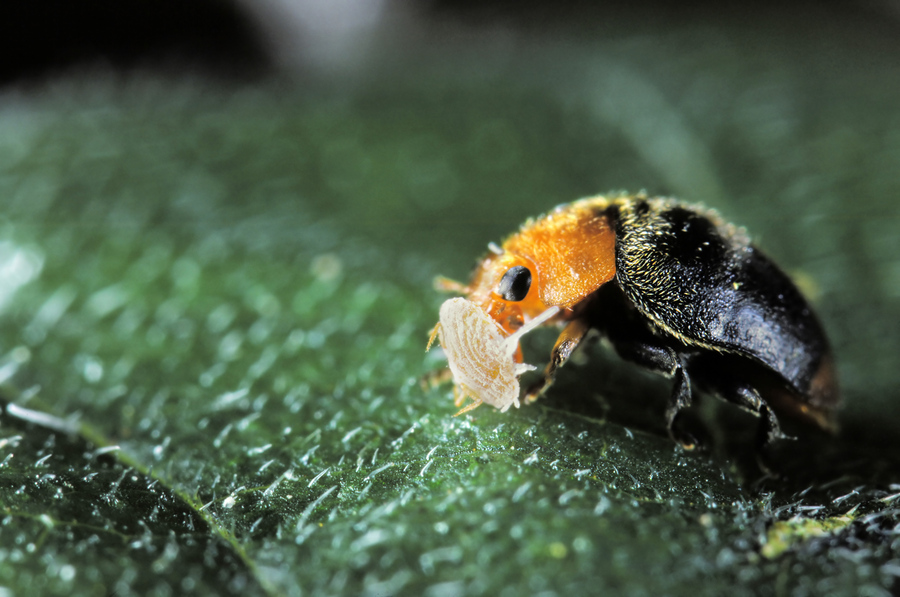 ladybird with aphid