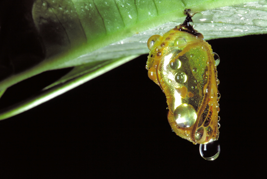 Wet pupa after artificial rainstorm